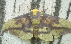 adult imperial moth (male)...so pretty!